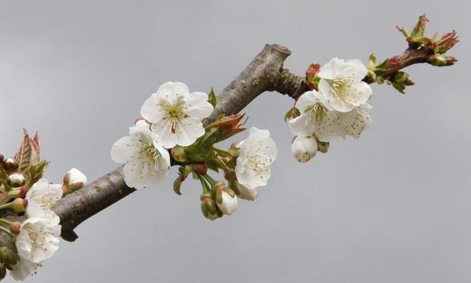 Zimní řez jabloní a prořezávání jabloní